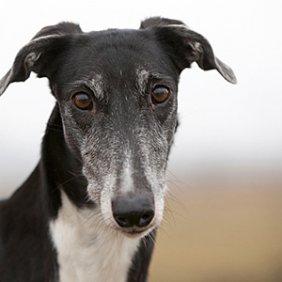 Lenkų kurtas informacija, nuotraukos, charakteris, šunų vardai, šuniuko kaina, hipoalerginis: ne