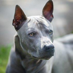 Tailando ridžbekas informacija, nuotraukos, charakteris, šunų vardai, šuniuko kaina, hipoalerginis: ne