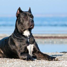 Korsikos šuo informacija, nuotraukos, charakteris, šunų vardai, šuniuko kaina, hipoalerginis: ne