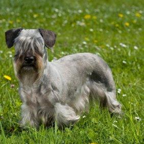 Čekų terjeras informacija, nuotraukos, charakteris, šunų vardai, šuniuko kaina, hipoalerginis: taip