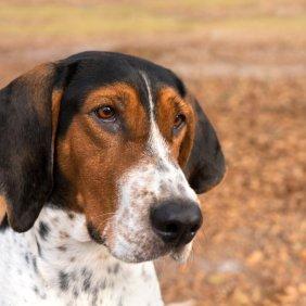 Treeing Walker Kunhaundas informacija, nuotraukos, charakteris, šunų vardai, šuniuko kaina, hipoalerginis: ne