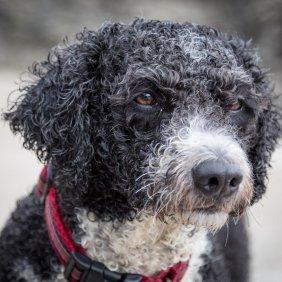 Ispanų vandens šuo informacija, nuotraukos, charakteris, šunų vardai, šuniuko kaina, hipoalerginis: taip
