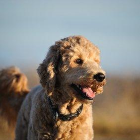 Goldendoodle informacija, nuotraukos, charakteris, šunų vardai, šuniuko kaina, hipoalerginis: ne