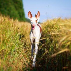Ibicos podengas informacija, nuotraukos, charakteris, šunų vardai, šuniuko kaina, hipoalerginis: ne