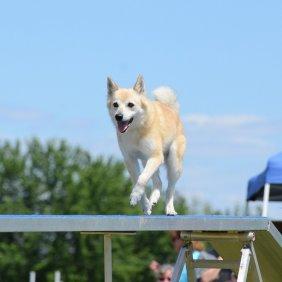 Norvegų buhundas informacija, nuotraukos, charakteris, šunų vardai, šuniuko kaina, hipoalerginis: ne