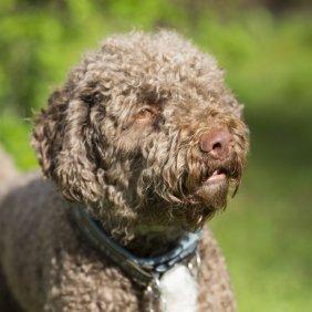 Romanijos vandens šuo informacija, nuotraukos, charakteris, šunų vardai, šuniuko kaina, hipoalerginis: taip