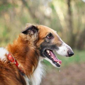 Rusų kurtas informacija, nuotraukos, charakteris, šunų vardai, šuniuko kaina, hipoalerginis: ne