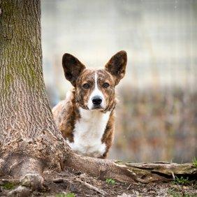 Valų korgis kardiganas (Velso) informacija, nuotraukos, charakteris, šunų vardai, šuniuko kaina, hipoalerginis: ne