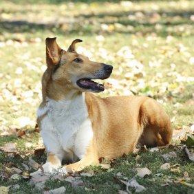 Trumpaplaukis kolis informacija, nuotraukos, charakteris, šunų vardai, šuniuko kaina, hipoalerginis: ne
