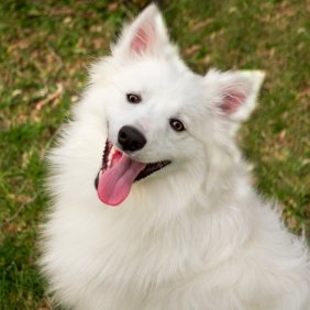 Amerikos eskimų šuo informacija, nuotraukos, charakteris, šunų vardai, šuniuko kaina, hipoalerginis: ne