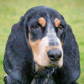 Gaskonės mėlynasis basetas informacija, nuotraukos, charakteris, šunų vardai, šuniuko kaina, hipoalerginis: ne