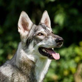 Northern Inuit Dog informacija, nuotraukos, charakteris, šunų vardai, šuniuko kaina, hipoalerginis: ne