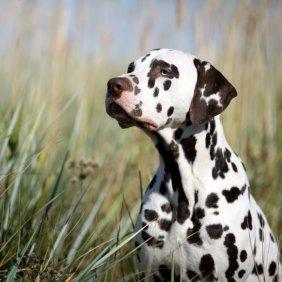 Dalmatinas informacija, nuotraukos, charakteris, šunų vardai, šuniuko kaina, hipoalerginis: ne