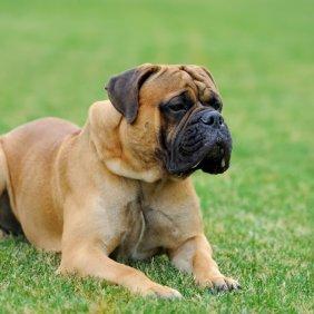 Anglų mastifas informacija, nuotraukos, charakteris, šunų vardai, šuniuko kaina, hipoalerginis: ne