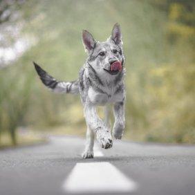 Sarloso vilkšunis informacija, nuotraukos, charakteris, šunų vardai, šuniuko kaina, hipoalerginis: ne