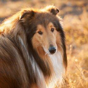 Ilgaplaukis kolis informacija, nuotraukos, charakteris, šunų vardai, šuniuko kaina, hipoalerginis: ne