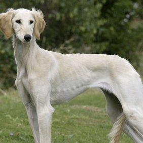 Karavanų šuo informacija, nuotraukos, charakteris, šunų vardai, šuniuko kaina, hipoalerginis: ne