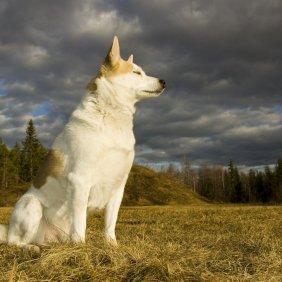 Norboto špicas informacija, nuotraukos, charakteris, šunų vardai, šuniuko kaina, hipoalerginis: ne