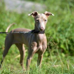 Peru inkų orchidėja informacija, nuotraukos, charakteris, šunų vardai, šuniuko kaina, hipoalerginis: taip
