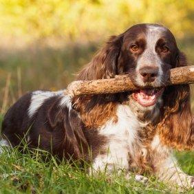 Rusų spanielis informacija, nuotraukos, charakteris, šunų vardai, šuniuko kaina, hipoalerginis: ne