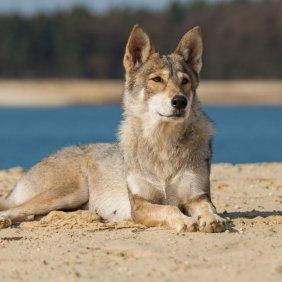 Tamaskano šuo (Tamaskanas) informacija, nuotraukos, charakteris, šunų vardai, šuniuko kaina, hipoalerginis: ne
