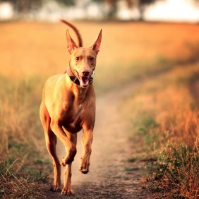 Faraonų šuo informacija, nuotraukos, charakteris, šunų vardai, šuniuko kaina, hipoalerginis: ne