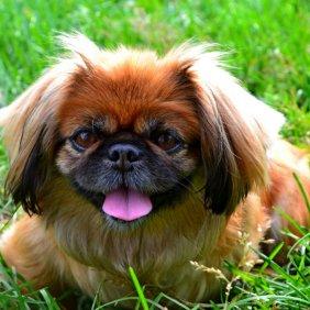 Pekinas informacija, nuotraukos, charakteris, šunų vardai, šuniuko kaina, hipoalerginis: ne