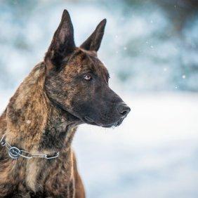 Olandų aviganis informacija, nuotraukos, charakteris, šunų vardai, šuniuko kaina, hipoalerginis: ne