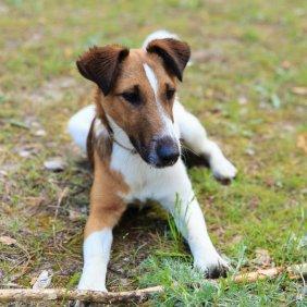 Trumpaplaukis foksterjeras informacija, nuotraukos, charakteris, šunų vardai, šuniuko kaina, hipoalerginis: ne