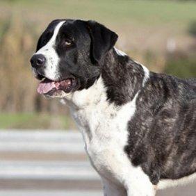 Alantėjos mastifas informacija, nuotraukos, charakteris, šunų vardai, šuniuko kaina, hipoalerginis: ne