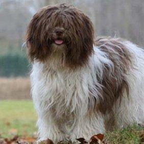 Olandų šapendojus informacija, nuotraukos, charakteris, šunų vardai, šuniuko kaina, hipoalerginis: ne