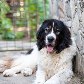 Bukovinos aviganis informacija, nuotraukos, charakteris, šunų vardai, šuniuko kaina, hipoalerginis: ne