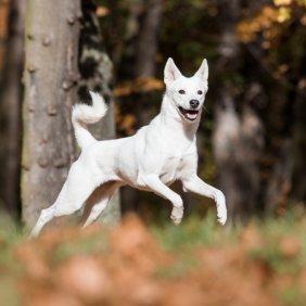 Kanaano šuo informacija, nuotraukos, charakteris, šunų vardai, šuniuko kaina, hipoalerginis: ne