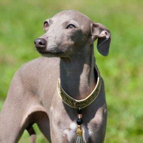 Levretė (Italų kurtas) informacija, nuotraukos, charakteris, šunų vardai, šuniuko kaina, hipoalerginis: taip