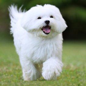 Maltos bišonas (Maltesė) informacija, nuotraukos, charakteris, šunų vardai, šuniuko kaina, hipoalerginis: taip