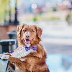 Naujosios Škotijos retriveris informacija, nuotraukos, charakteris, šunų vardai, šuniuko kaina, hipoalerginis: ne