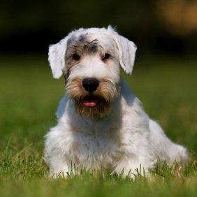 Silihemo terjeras informacija, nuotraukos, charakteris, šunų vardai, šuniuko kaina, hipoalerginis: taip