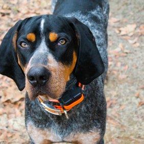 Melsvamargis kunhaundas informacija, nuotraukos, charakteris, šunų vardai, šuniuko kaina, hipoalerginis: ne