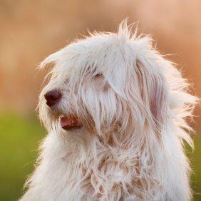 Pietų Rusijos aviganis informacija, nuotraukos, charakteris, šunų vardai, šuniuko kaina, hipoalerginis: ne