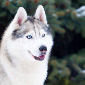 Sibiro haskis informacija, nuotraukos, charakteris, šunų vardai, šuniuko kaina, hipoalerginis: ne