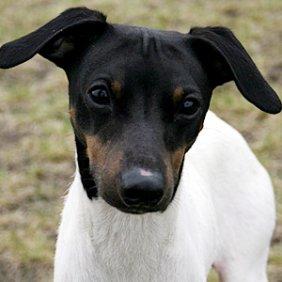Japonų terjeras informacija, nuotraukos, charakteris, šunų vardai, šuniuko kaina, hipoalerginis: ne