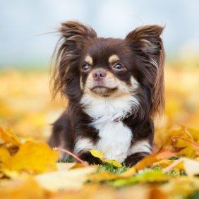 Čihuahua informacija, nuotraukos, charakteris, šunų vardai, šuniuko kaina, hipoalerginis: ne