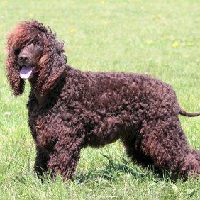 Airių vandens spanielis informacija, nuotraukos, charakteris, šunų vardai, šuniuko kaina, hipoalerginis: taip