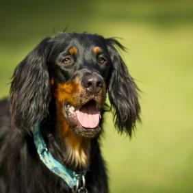 Gordono seteris (Škotų seteris) informacija, nuotraukos, charakteris, šunų vardai, šuniuko kaina, hipoalerginis: ne