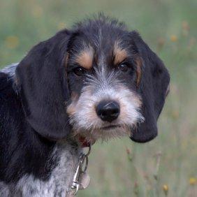 Mėlynasis Gaskonės skalikas informacija, nuotraukos, charakteris, šunų vardai, šuniuko kaina, hipoalerginis: ne