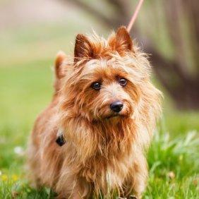 Australų terjeras informacija, nuotraukos, charakteris, šunų vardai, šuniuko kaina, hipoalerginis: taip