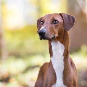 Azavakas informacija, nuotraukos, charakteris, šunų vardai, šuniuko kaina, hipoalerginis: ne