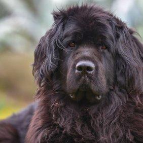 Niufaundlendas informacija, nuotraukos, charakteris, šunų vardai, šuniuko kaina, hipoalerginis: ne