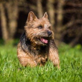 Norvidžo terjeras informacija, nuotraukos, charakteris, šunų vardai, šuniuko kaina, hipoalerginis: taip