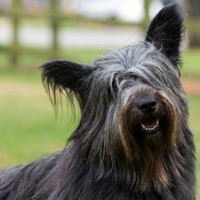 Skajaus terjeras (skaiterjeras) informacija, nuotraukos, charakteris, šunų vardai, šuniuko kaina, hipoalerginis: ne
